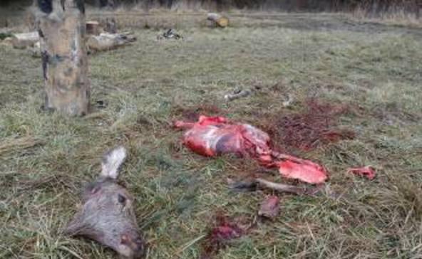 Megcsonkították a szarvast az orvvadászok