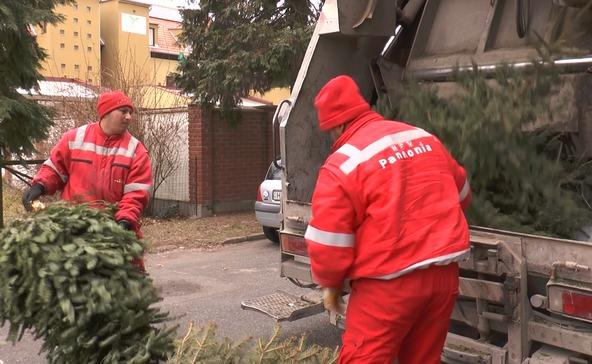 Ekkor szállítják el a kiselejtezett karácsonyfákat