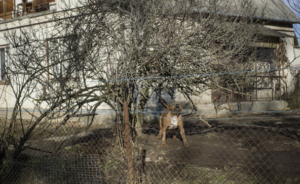 Vádat emeltek a gyereket marcangoló harci kutyák gazdája ellen
