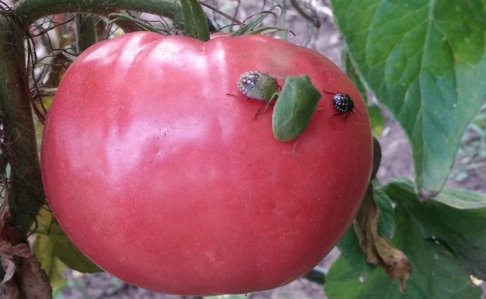 A poloskák vígan lakmároznak a termésből