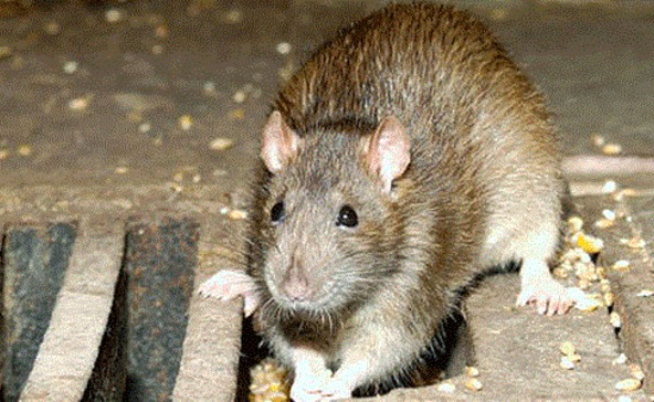 Patkányok rohangáltak a Kossuth utcában