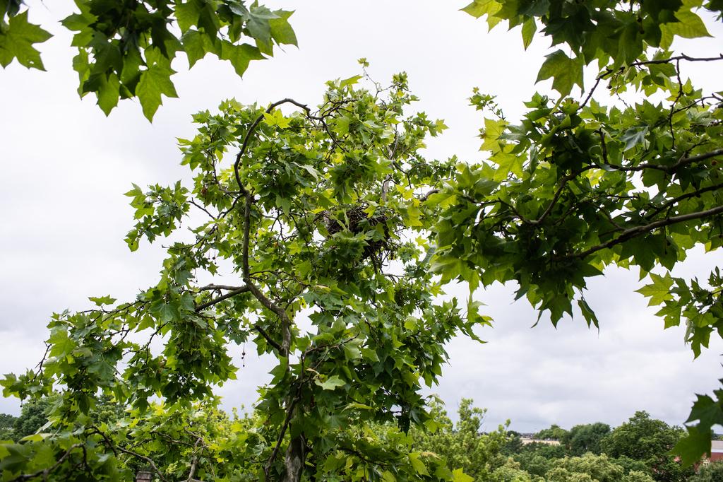 A fák legtetején raknak fészket