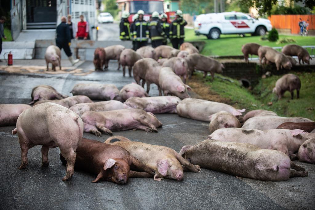 Halott sertések az úttesten Böhönyén