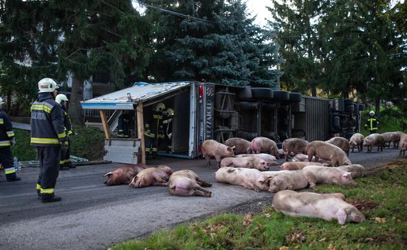 Csaknem 30 sertés pusztult el a böhönyei balesetben