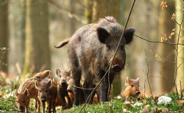 Óvatosan a csíkosakkal az erdőkben!