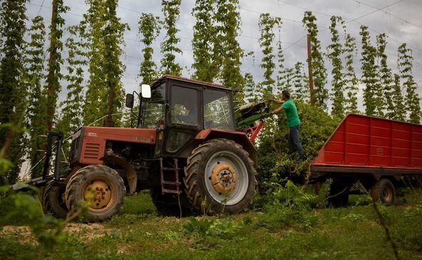 Dél-Somogyban indult újra a komló hazai termesztése
